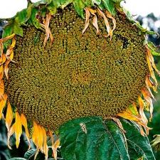 Семена подсолнечника Аракар (Экстра)