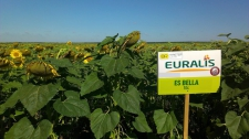 Семена подсолнечника ЕС Белла, Евралис 2018г.