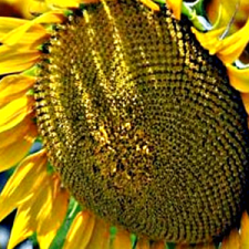 Семена подсолнечника Флорими (Экстра)